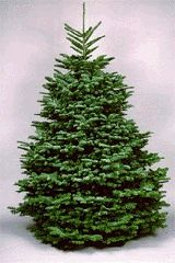 216ec56f1b5 Long considered an excellent Christmas tree because of its beauty
